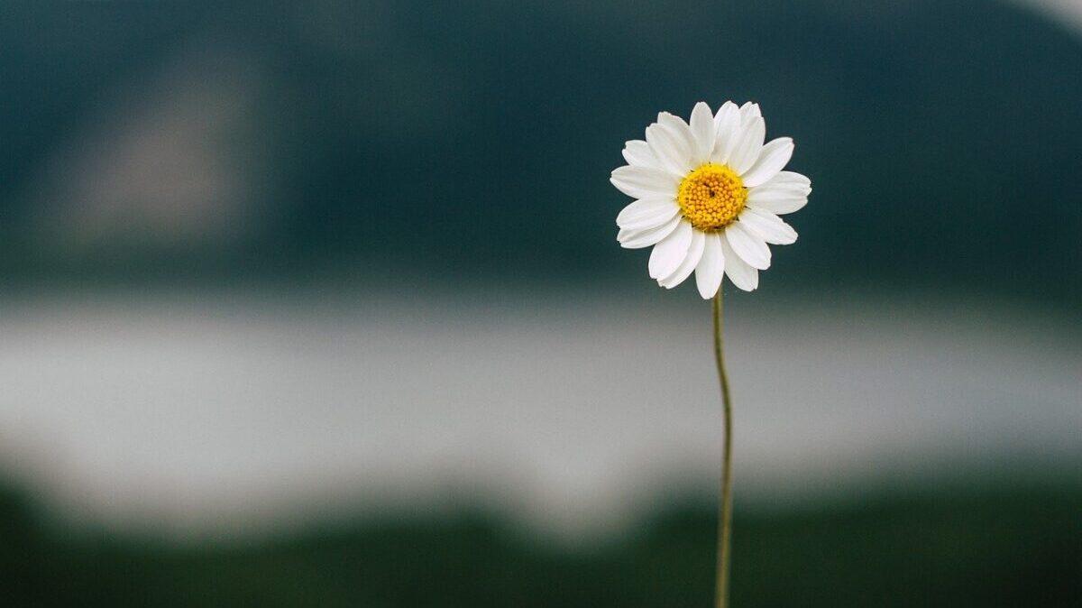 1輪のデイジーの花